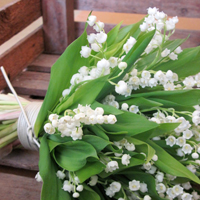 ::Lily of the valley / (Muguet)